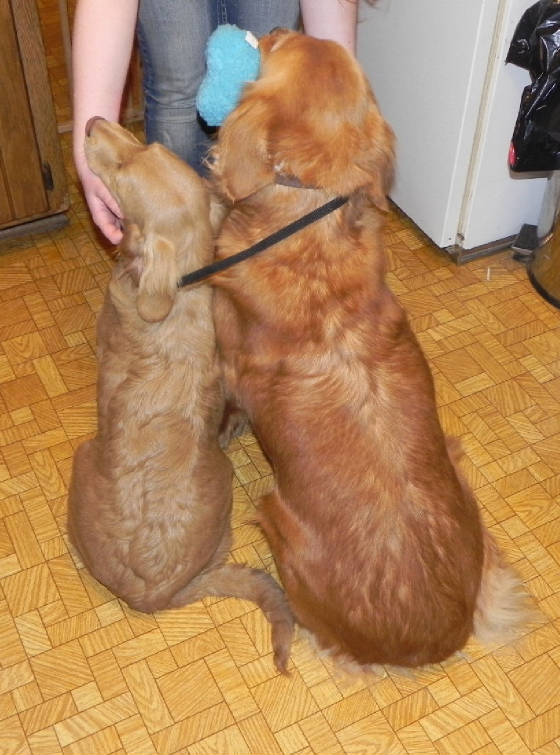 Miniature Golden RetrieversFull Grown Golden Cocker Retriever
