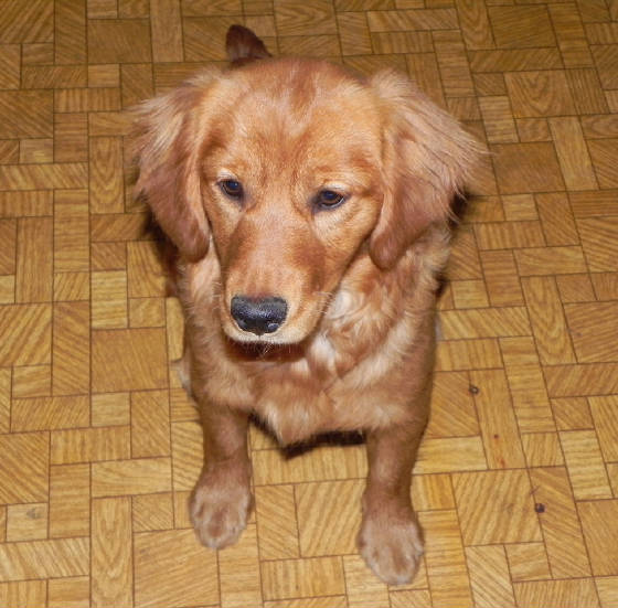 Pics For > Mini Golden Cocker Retriever Full Grown