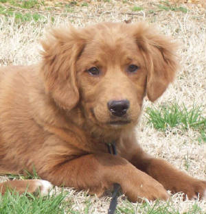 Mini Golden Cocker Retriever Full Grown | www.pixshark.com ...